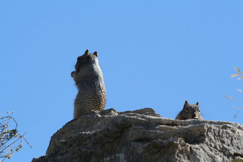 Spotted Ground Squirrels