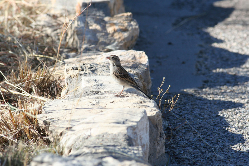 Interpretive Trail - Chipping Sparrow