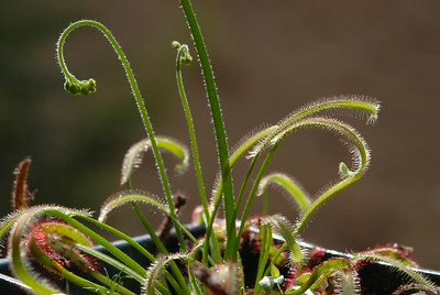 © Joseph Dougherty. All rights reserved.   Drosera filiormis, the Thread-leaved sundew.