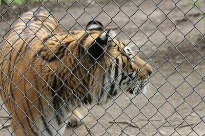 Nitro - blind tiger