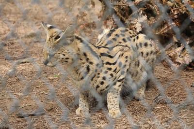 Collins - Bobcat