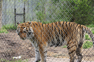 Raj - a 450 pound male tiger