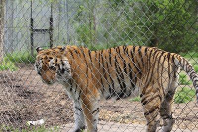 Raj - a 450 pound male tiger