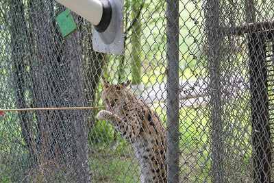 Serval getting a treat