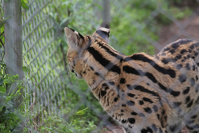 Serval - Elvis