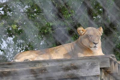 Sheba - female African lion