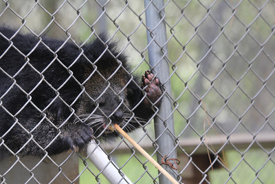 Tristan - a Binturong - from SE Asia rain forest - Edward's favorite animal - getting treats of banana