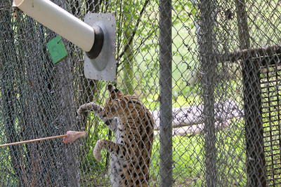 Serval getting a chicken leg treat