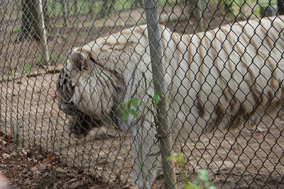 "Jellybean -  a white tiger - white tigers are a ""designer"" animal - suffers results of inbreeding"