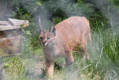 Cheyenne - Caracal - native to Africa - has tufts at tops of ears that blend in with grasses when trying to hide