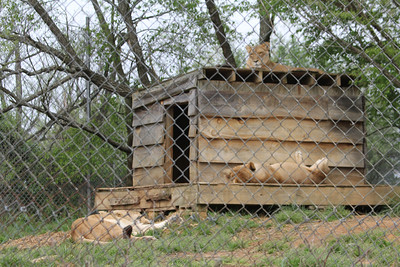 the 3 African lions live together - Sheba, Tarzan and Sebastian