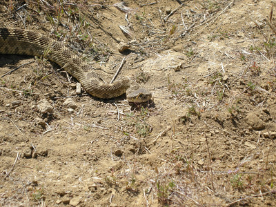 The head of the still-motionless snake. There was a lot of negative selection pressure against rattlers that made noise over the last several decades, so the survivors now are typically silent unless thoroughly provoked.