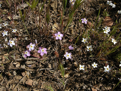 More tiny trailside flowers, perhaps a species of Phlox (not sure.)