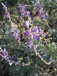 Another view of the bush lupine. We saw other species of lupine on this trip as well.