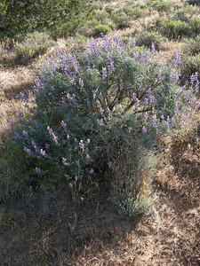 Bush lupine (Lupinus longifolius (formerly L. albifrons.)