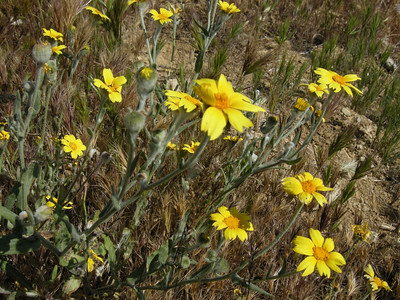 Well, I thought these might be annual coreopsis (Coreopsis bigelovii) but I think they actually are Coast Goldfields.