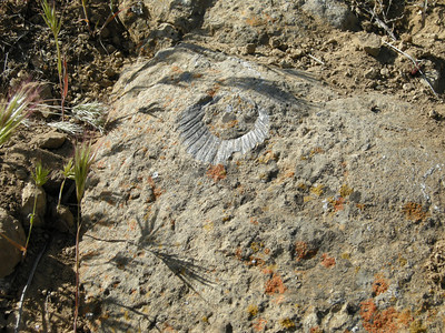 A fossil shell. The local rock is from the Miocene, which makes this fossil shell perhaps 25 million years old.