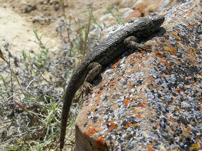 With a truncated tail, the rock-hugging lizard probably had had a recent encounter with a larger & hungrier creature.