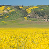 The view of the painted Caliente Range in Carrizo Plain National Monument, across a field of Hillside Daisies (Monolopia lanceolata)
