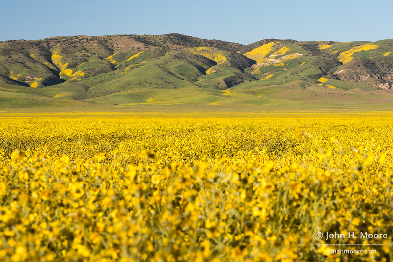 The painted Caliente Mountain Ranage in Carrizo Plain National Monument, as seen across a field of Hillside Daisies (Monolopia lanceolata).