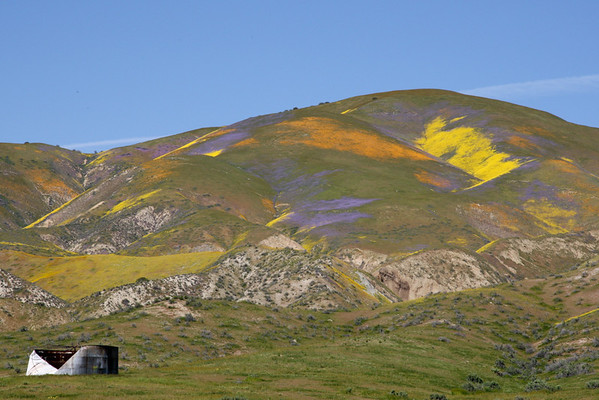 Wildflowers in Carrizo Plain
