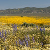 A smattering of purple in a field of varying yellows off Simmler Road in Carrizo Plain National Monument