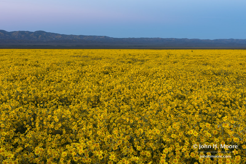 Yellow tickseed (Coreopsis) in the central valley of Carrizo Plain National Monument.