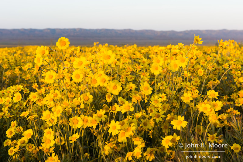Hillside Daisies (Monolopia lanceolata) in the valley of Carrizo Plain National Monument