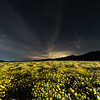A field of yellow wildflowers at Carrizo Plain National Monument under the starry night sky.
