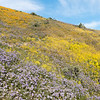 Mixed wildflowers on a hillside.  Temblor Mountains, Carrizo Plain National Monument, California.