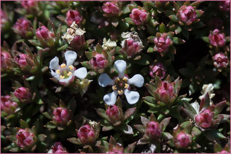 Pyxidathera (cf.) brevifolia