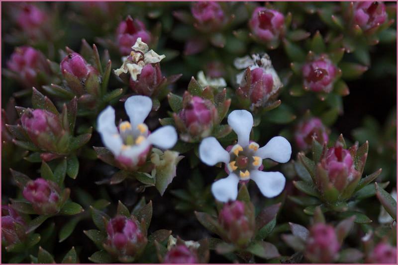Pyxidanthera (cf.) brevifolia