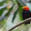 Ceratopipra rubrocapilla<br /> Cabeça-encarnada<br /> Red-headed Manakin<br /> Saltarín cabecirrojo sureño