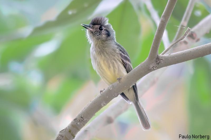 Leptopogon amaurocephalus<br /> Cabeçudo<br /> Sepia-capped Flycatcher<br /> Cabezudo - Karichu paje