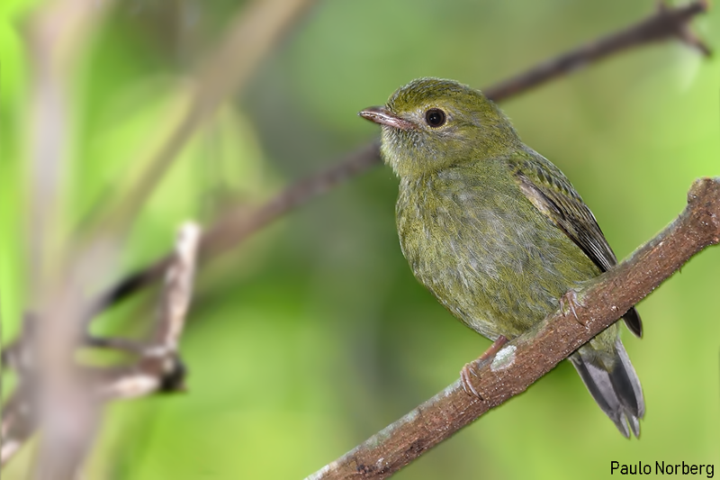 Chiroxiphia caudata<br /> Tangará-dançarino fêmea<br /> Swallow-tailed Manakin female<br /> Bailarín azul - Saraki hovy
