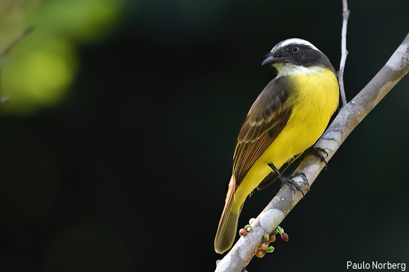 Myiozetetes similis<br /> Bem-te-vizinho-de-penacho-vermelho<br /> Social Flycatcher<br /> Pitogüé mediano alas rufas - Pitogue'i