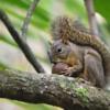 Sciurus aestuans<br /> Caxinguelê<br /> Brazilian Squirrel<br /> Ardilla brasileña