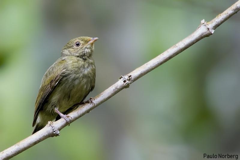 Ceratopipra rubrocapilla<br /> Cabeça-encarnada fêmea<br /> Red-headed Manakin female<br /> Saltarín cabecirrojo sureño