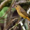 Lanio cristatus<br /> Tié-galo fêmea<br /> Flame-crested Tanager female<br /> Frutero de cresta rojiza