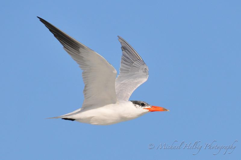 Caspian Tern - Australia