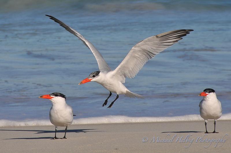 Caspian Terns - Australia