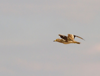 Stone Curlew in flight