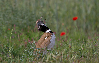 Male Little Bustard calling