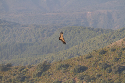 Griffon Vulture in the landscape