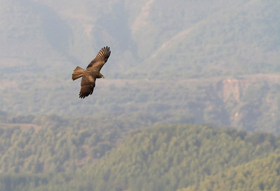 Black Kite in the landscape