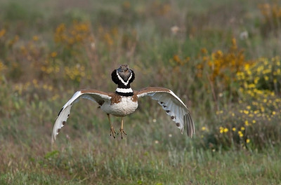 Male Little Bustard displaying