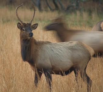 Elk in the valley