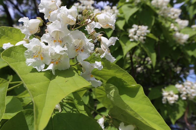 Catalpa in bloom on Pawtucket Boulevard in Lowell.  SUN/Julia Malakie