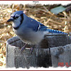 Bluejay - October 16, 2006 - Lower Sackville, NS