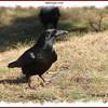 American Crow - December 14, 2008 - Sullivan's Pond, Dartmouth, NS